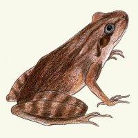 Skokan štíhlý– nejběžnější žába Milíčova