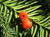 Tis červený– semeno smíškem