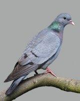 holub doupňák