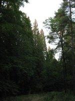 Stromořadí letitých tújí
