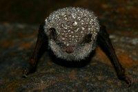 Myotis daubentoniho