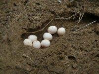 Lacerta agilis– vejce