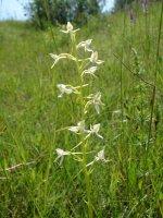 Platanthera bifolia
